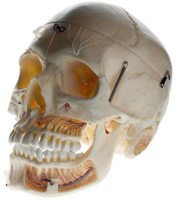 QS 8/11 - Umělá lebka dospělého člověka
