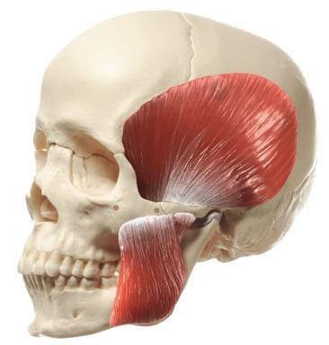 QS 8/218M - Model lebky se žvýkacími svaly - 18 částí