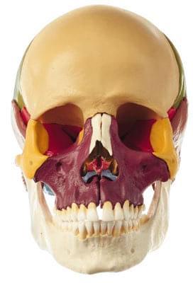 QS 8/3 -Model lebky člověka - 14 částí