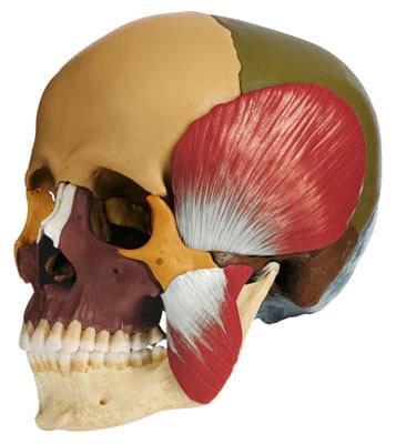 QS 8/3M - Model lebky se žvýkacími svaly - 14 částí