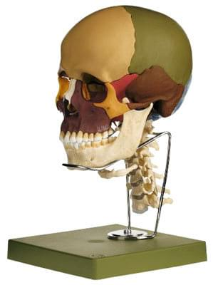 QS 8/3C - Model lebky s krční páteří a jazylkou - 14 částí