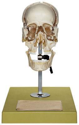 QS 9 - Umělá lebka dospělého člověka