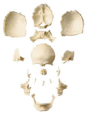 QS 9/1 - Umělá lebka dospělého člověka