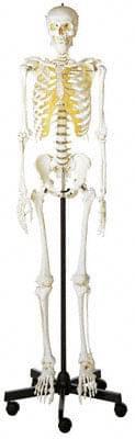 QS 10/1 - Umělá kostra člověka