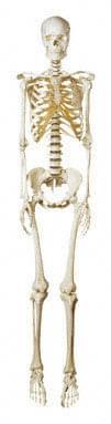 QS 10/8 - Umělá kostra člověka