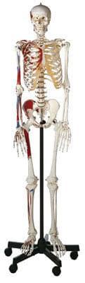 QS 10/9 - Umělá kostra člověka