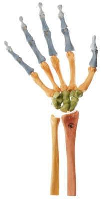 QS 31/4 - Kostra pravé ruky (pohyblivá v kloubech, barevně vyznačená)