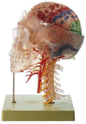 QS 65/7 - Neuroanatomický model hlavy