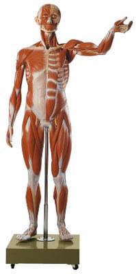 AS 2/2 - Postava muže - svaly