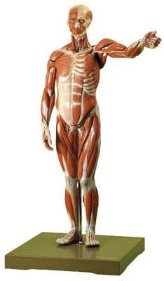 AS 1 - Postava muže - svaly