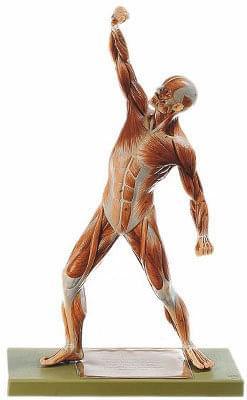 AS3 Postava muže - svaly