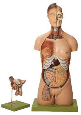 AS 4 - Lidský trup, s hlavou a vyměnitelnými mužskými a ženskými pohlavními orgány