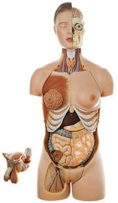 AS 4/1 - Lidský trup, s hlavou a vyměnitelnými mužskými a ženskými pohlavními orgány