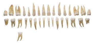 ES 1 - Zuby dospělého člověka - set