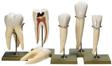 ES 11 - 5 modelů zubů