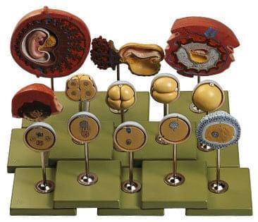 MS 46 - Vývoj člověka - embryo na konci prvního měsíce