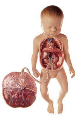 MS 16 - Oběhový systém plodu