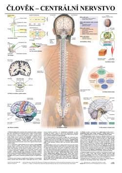 Člověk - centrální nervstvo
