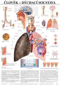 Člověk - dýchací systém