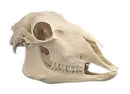 Lebka ovce domácí - odlitek (Ovis aries)