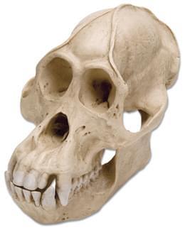 Lebka orangutana bornejského (Pongopygmaeus), samec