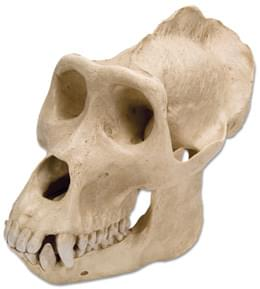 Lebka gorily nížinné (Gorilla gorilla), samec