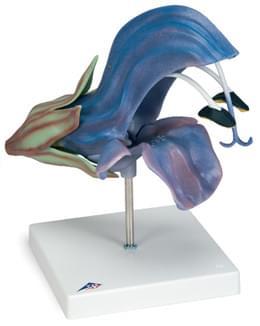 Šalvěj luční (Salvia pratensis)