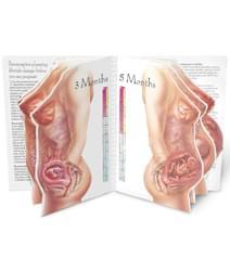 Těhotenství - znázornění v životní velikosti