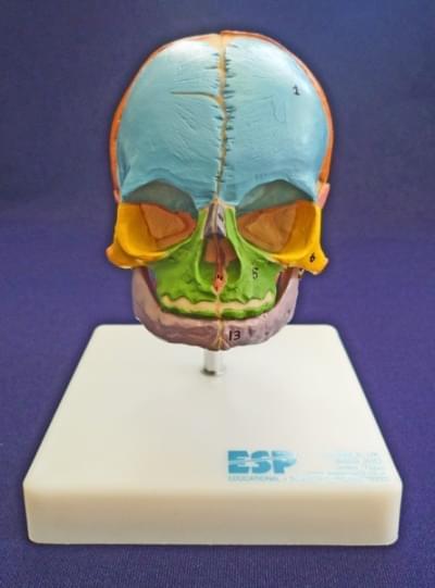 Výuková lebka plodu na stojanu