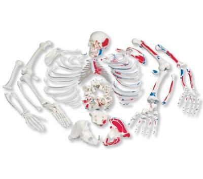 A05/2 - Úplná kostra, rozložená, znázorňující svaly, s třídílnou lebkou