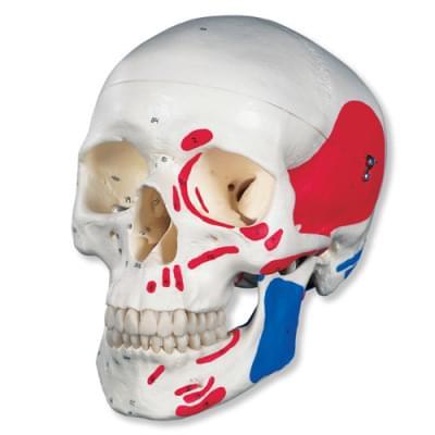 A23 - Klasická lebka, malovaná, 3 části