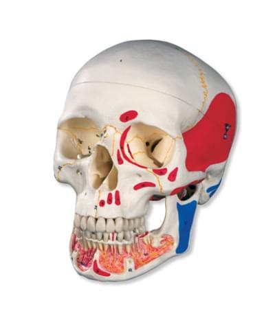 A22/1 - Klasická lebka s otevřenou dolní čelistí, malovaná, 3 části