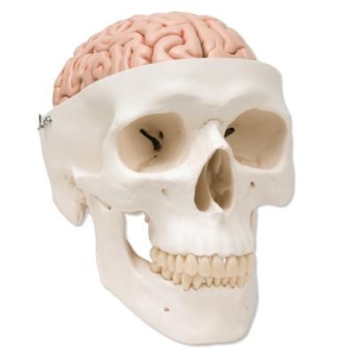 A20/9 - Klasická lebka s mozkem, 8 částí