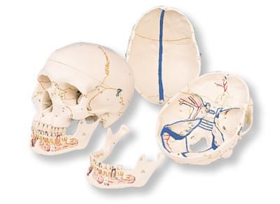 A22 - Klasická lebka s otevřenou dolní čelistí, 3 části