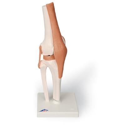A82 - Funkční model kolenního kloubu