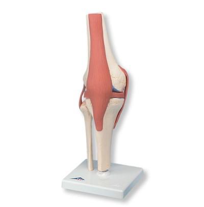 A82/1 - Funkční model kolenního kloubu deluxe