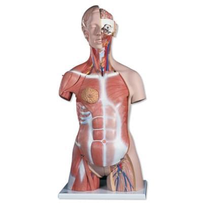 B40 - Deluxe torso se svaly, dvojí pohlaví, 31 částí