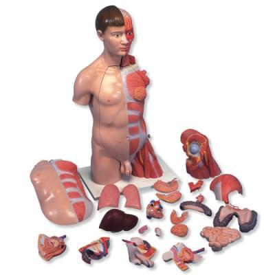 B42 - Deluxe torso, dvojí pohlaví, ruka se svaly, 33 částí