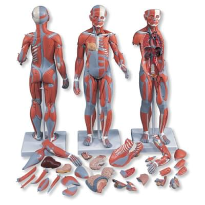 B55 - Kompletní postava se svaly a vnitřními orgány, dvojí pohlaví, 33 částí