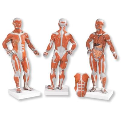 B59 - Postava se svaly, 1/3 životní velikosti, 2 části