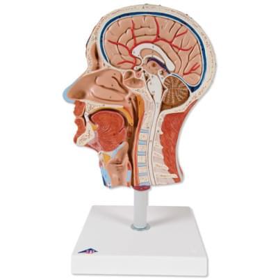 C14 - Polovina hlavy se svalstvem