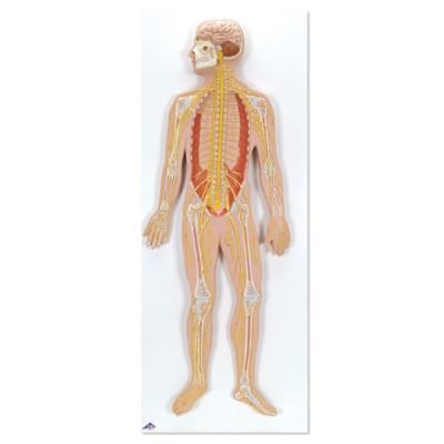 C30 - Nervový systém, 1/2 životní velikosti