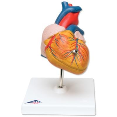 G08 - Klasický model srdce, 2 části