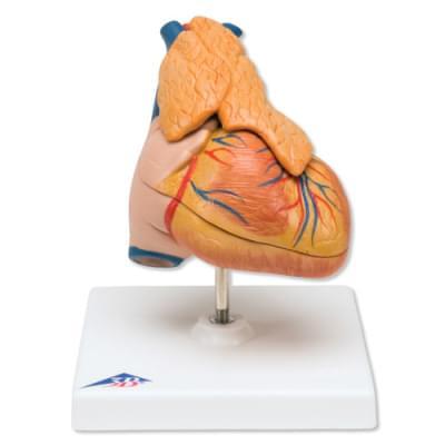 G08/1 - Klasický model srdce s brzlíkem, 3 části