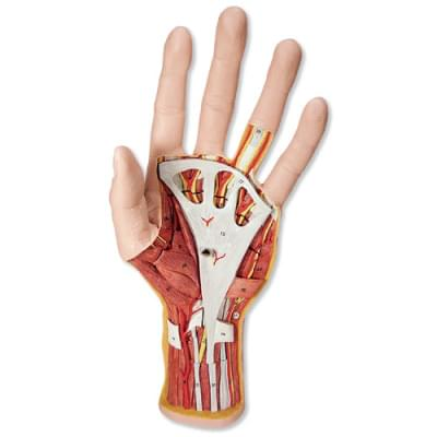 M18 - Model vnitřní struktury ruky, 3 části