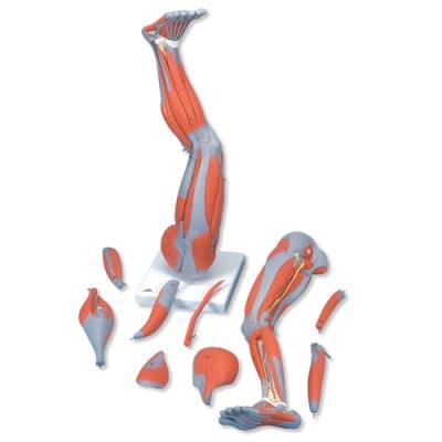M20 - Model dolní končetiny se svaly, 9 částí