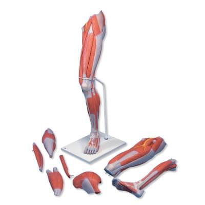 M21 - Model dolní končetiny se svaly, 7 částí