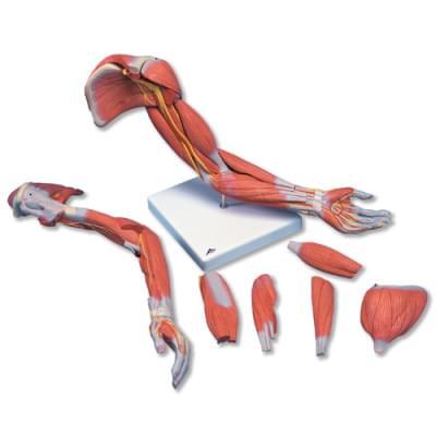 M11 - Model horní končetiny se svaly, 6 částí