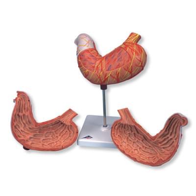 K15 - Model žaludku, 2 části