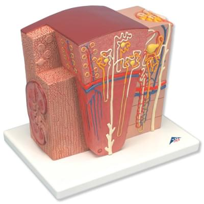 K13 - 3B MICROanatomy model ledviny